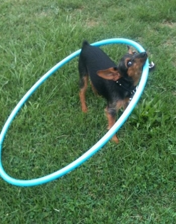 A black with brown Wire Fox Pinscher is standing in a field and it has a hula-hoop in its mouth. The dog has a small docked tail and large perk ears that are slightly pinned back.