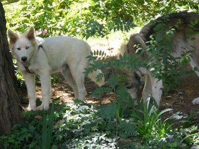The left side of a white Wolf Hybrid puppy that is standing next to a tree. There is another dog behind it sniffing the dirt.