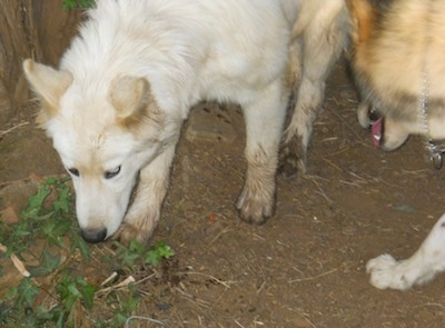A white Wolf Hybrid puppy is looking down at a leaf that is surrounded by dirt. There is another dog to the right of it.