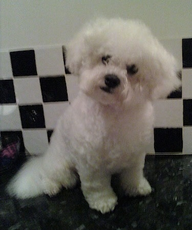 Marco Jack the Bichon Frise sitting in front of a checkered tiled background on a marble floor