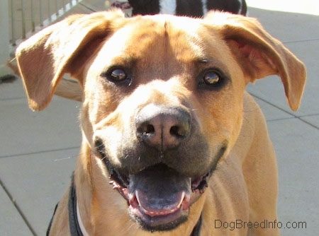 Close Up -Tilo the Rhodesian Ridgeback / Boxer mix is standing on concrete blocks and looking at the camera holder