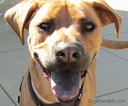 Close Up head shot -Tilo the Rhodesian Ridgeback / Boxer mix is standing on concrete blocks and its mouth is open and tongue is out