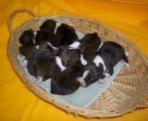 Topdown view of seven Bo-Jack Puppies in a wicker basket