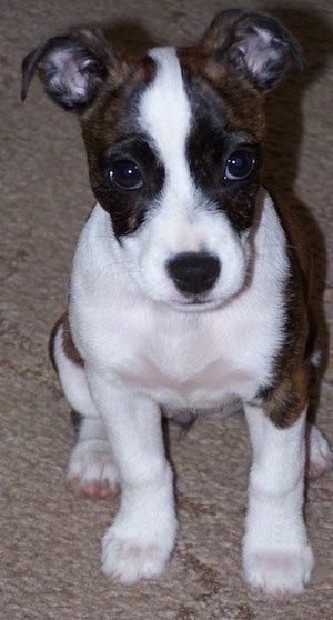 Close Up - A brown with white Bo-Jack puppy sitting on a carpet and it is looking forward.