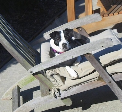 A black and white Bo-Jack is laying down in a beach chair.