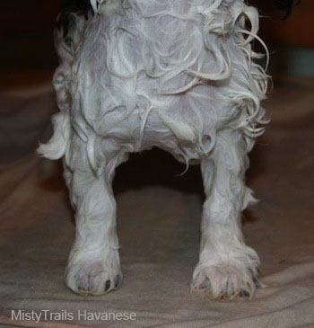 The front legs of a wet havanese standingon a towel