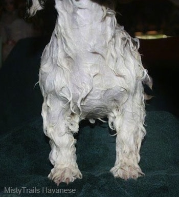 The chest of a wet white dog that is standing on a towel. The dog has straight front legs