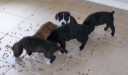 Four Boston Spaniel puppies are eating kibble off of a tiled floor and there is one Boston Spaniel puppy that is sitting in between them.