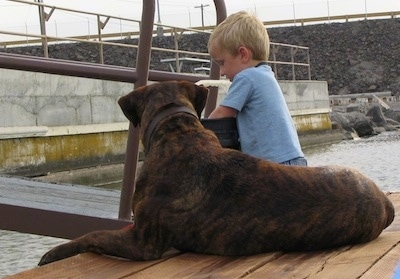 Waylon the Mastweiler laying on a wooden dock looking at a child dig into a bucket
