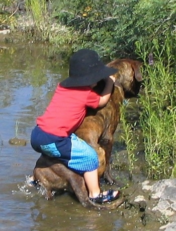 Waylon the Mastweiler in a body of water with a child sitting on his back
