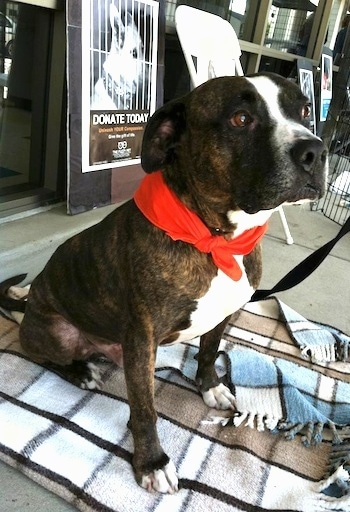 The front right side of a brindle with white Bullboxer Staff that is wearing a bandana and it is sitting on a blanket outside of a store.
