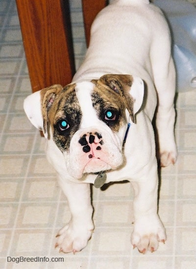 A white with brown Bulldog puppy is standing on a tiled kitchen floor under a table, its head is slightly tilted to the left and it is looking forward.