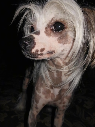 Close Up - Shelby the hairless Chinese Crested dog is standing and looking sideways into the camera