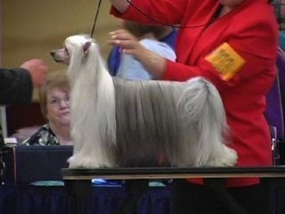A Chinese Crested Powderpuff is being posed on a show dog table. The handler is wearing a red blazer and a person is behind it watching the dog be judged