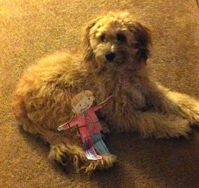 Peanut the Cockapoo is laying on a carpet. There is a paper cut out of a person named Flat Stanley in a suit laying on the back end of her