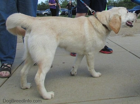 The back right side of a tan with white Cockapoo/Labrador Retriever mix that is walking across a concrete surface pulling forward on a leash.