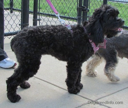 Milly the black Cockapoo is standing on a concrete path. There is a chain link fence behind it and there is a smaller dog in front of Milly.