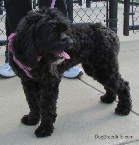 Milly the black Cockapoo is standing on a concrete path and looking at what is happening behind her. There is a person in black sweatpants standing next to Milly.