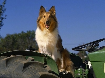 A Rough Collie is sitting in a big green tractor. Its mouth is open. It looks like it is smiling