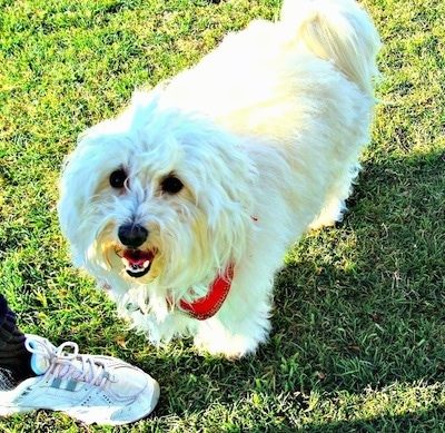 Jonah the white Coton de Tulear is standing outside. There is a shoe in front of him. Jonahs mouth is open and he looks like he is smiling