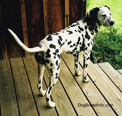 Molly the Dalmatian is standing outside on a porch at the top of a set of wooden steps