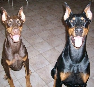 Alexander the black and tan and Ember the red and tan Doberman dogs are sitting on a tiled floor. There mouths are open and it looks like they both are smiling