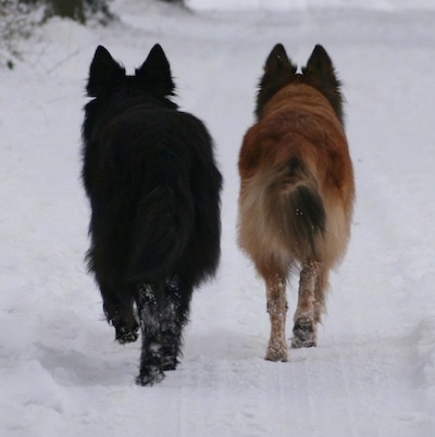 Sylvester Stee and Aura the Dutch Shepherds are trotting through the snow. One dog is black and the other is tan.