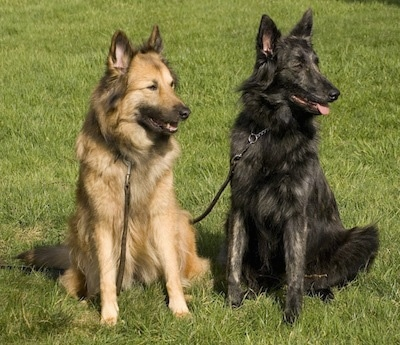 Aura (tan) and Mira (black brindle) the Dutch Shepherds are sitting in a field and looking to the right