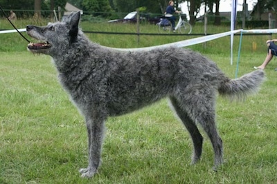 Left Profile - Maatje de Blauwe Pastorie the gray wire-haired Dutch Shepherd is standing outside in a field and looking up with her mouth open. There is a person riding a bike in the background
