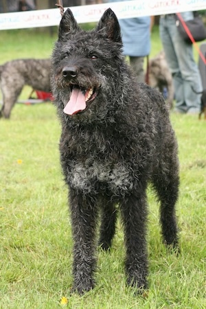 Rodo-Rocky v.d. Bothof the wire-haired black and gray Dutch Shepherd is standing in a field. Its mouth is open and tongue is out. The back of its tongue is black. There are a lot of dogs and people behind it