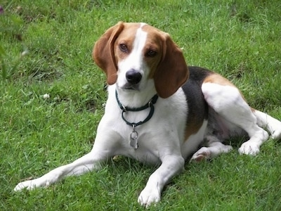 Hunter the tan, white and black tricolor English Foxhound is laying out in a grassy field and looking forward