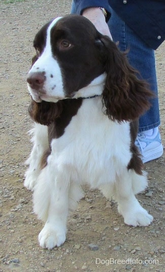 Becham the English Springer Spaniel is standing in front of the person holding his collar. Bechem is looking to the left