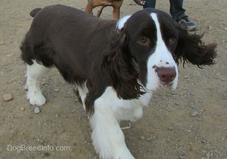 Becham the brown and white English Springer Spaniel is standing in dirt with another dog behind him.