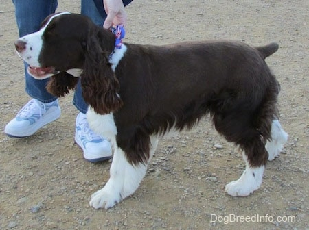Becham the brown and white English Springer Spaniel is being led by the collar by a person