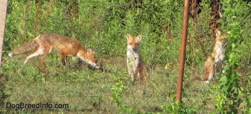 Three Fox sitting outside of a fence