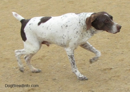 A white with brown ticked German Shorthaired Pointer is trotting across a dirt path in a pointing stance