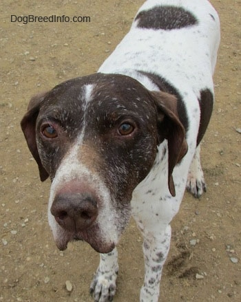 A white with brown German Shorthaired Pointer is standing in dirt