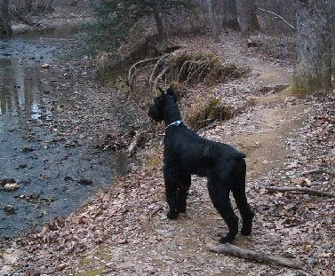 A black Giant Schnauzer is standing on a dirt path with a bunch of leaves looking out at a body of water.