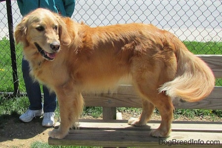 A Golden Retriever is standing at the edge of a wooden bench. There is a person behind it standing against a chain link fence.