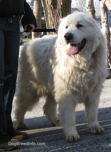 A panting Great Pyrenees is  standing in a street next to a person.
