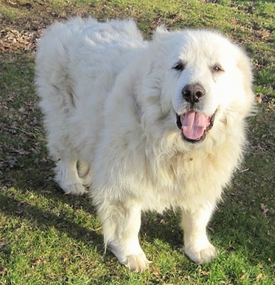 A happy looking Great Pyrenees is standing in grass looking up. Its mouth is open and tongue is out