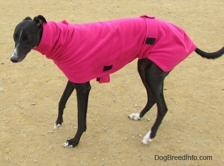 A black with white Greyhound is standing in dirt wearing a hot pink jacket.