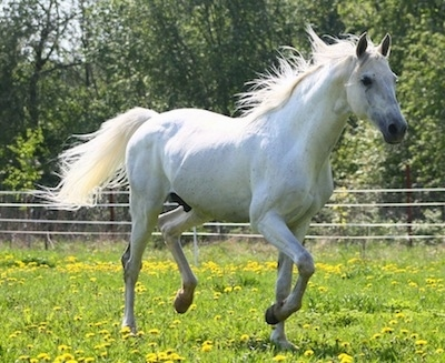 Action shot - a white Horse is running across a field.