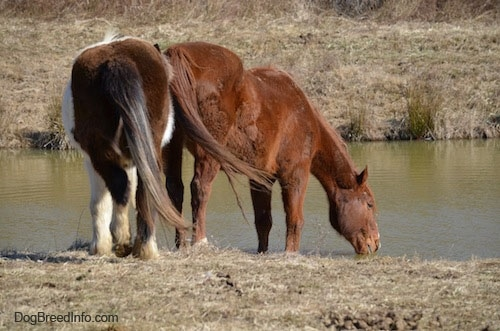 A brown horse is drinking out of a pond with a paint pony walking up from behind it.