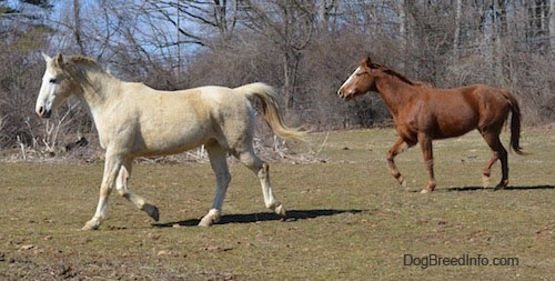 A tan with white Horse and a brown with white Horse are running across a field.