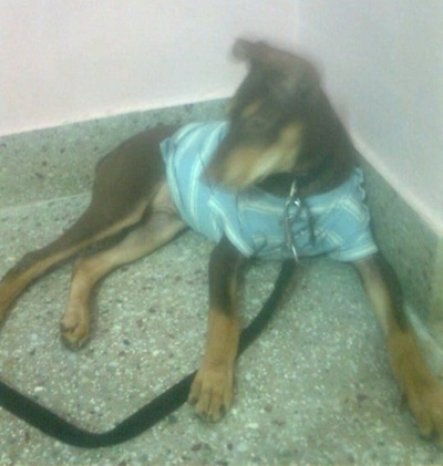 Front side view - A black with tan Pariah Dog is wearing a light blue striped shirt laying in the corner of a room looking to the left.