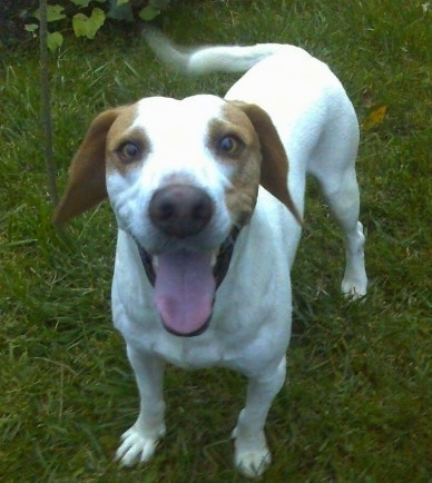 A smiling, happy looking white with brown Istrian Shorthaired Hound dog is standing in grass with its tail wagging.