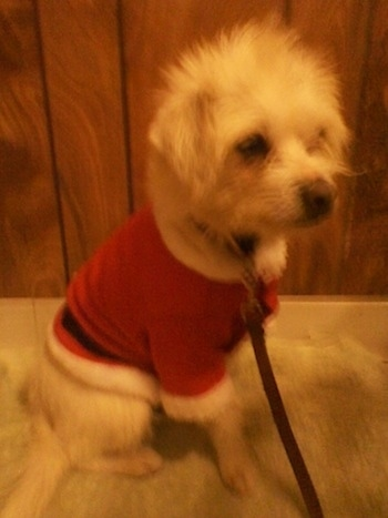 A white Italian Tzu is wearing a Santa Claus jacket sitting in front of a wood paneling wall.