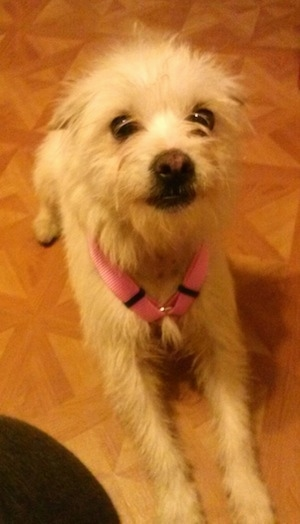 A white Italian Tzu is wearing a pink harness laying on a brown floor looking up