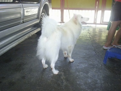 A white with tan Japanese Spitz is standing in a garage next to a vehicle. There is a person in front of it